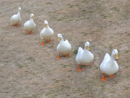 Ducks on parade by Shadow-Sister
