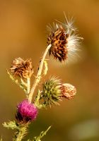 Life Cycle of a Thistle by El-Sharra