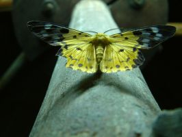 Papillon by casefr