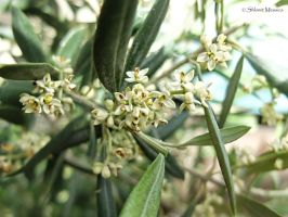 Olive tree blossoms by ShlomitMessica