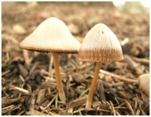 Psathyrella duo by emessis