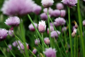 Chives II by FroZnShiva