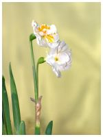 Sun Filled Daffodil by signmeupscotty