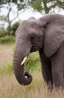 African Elephant by PawsOfEvil
