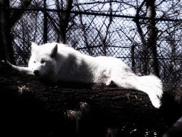 White Wolf by IsaidSO9732382times