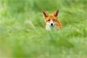 Red Fox in a Sea of Green by thrumyeye