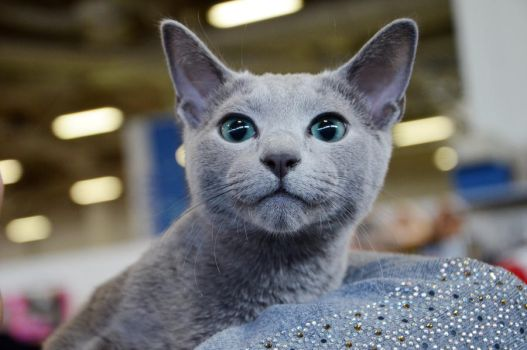 Russian Blue by Valvador