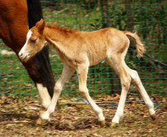Foal Stock 1 by blaisedrew62