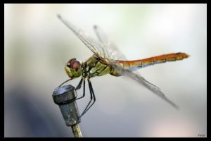 Dragon fly by Terza