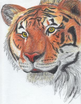 Pencil Crayon Tiger by kittyq