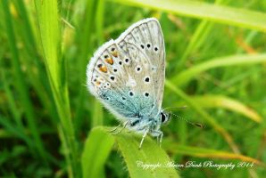 Common Blue. by AdrianDunk
