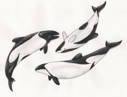 Pod of Commerson's Dolphins by iiduh
