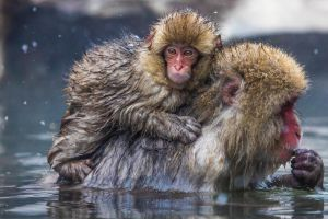 Japanese Macaques. Snow Monkeys. by sellsworth
