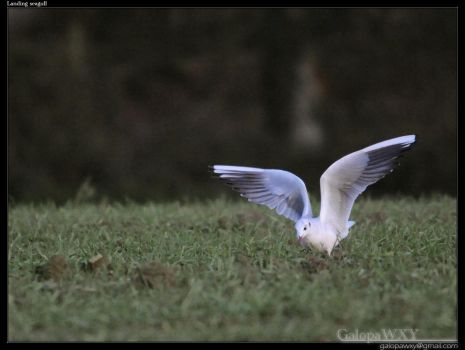 Landing seagull by GalopaWXY-photos