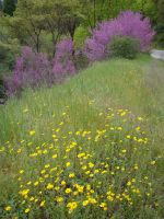 Redbuds near Yosemite by Geotripper