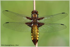 Libellula depressa - FEMALE by RichardConstantinoff