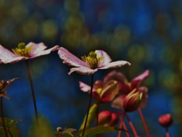 CLEMATIS RAMBLES by trevj