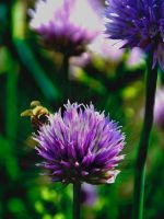 Onion Bee by ToysoldierThor