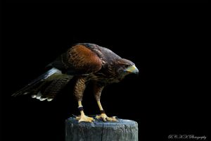 Harris' hawk by PiTurianer