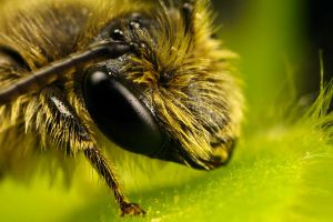 Miner Bee Portrait III by dalantech