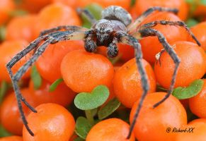 Boxing Spider_ by RichardConstantinoff