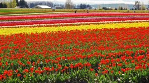 Tulip Town #2 by KRHPhotography
