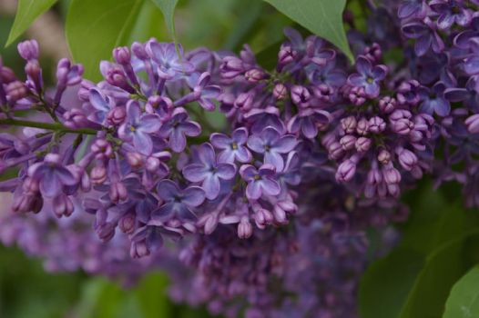 Explosion of Lilacs by CrustyMuffin