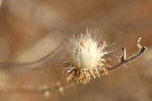 Unknown thistle 2 by greyrowan