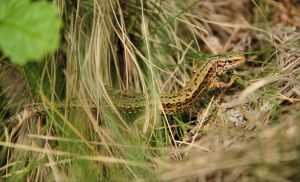 A sand lizard by Rajmund67
