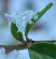 Ice Flower by Forestina-Fotos