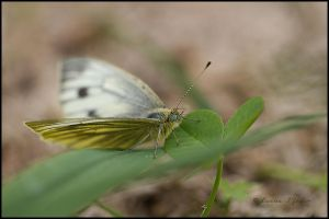 butterfly by black-sunray