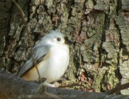Tufted Titmouse 3 by euphoricmadness
