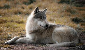 Wolf relaxing by Yair-Leibovich
