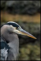 Great Blue Heron 4 by HarbingerPhotography