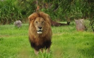 Male lion by NagWolf