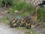 Even ducks take their kids to the zoo by SSJGarfield