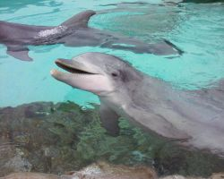 Atlantic Bottlenose Dolphin 2 by Teh-Pandacoon