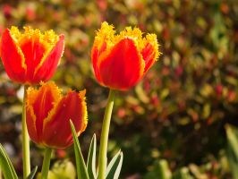 Tulpe by Anschi71