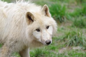 young arctic wolf by Nashoba67