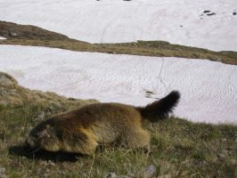 marmot am Grossvenediger by vintgar