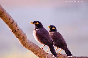 Pair Myna by pun2et