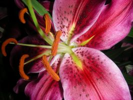 Bright Pink Lilly by ticklemeimsexy