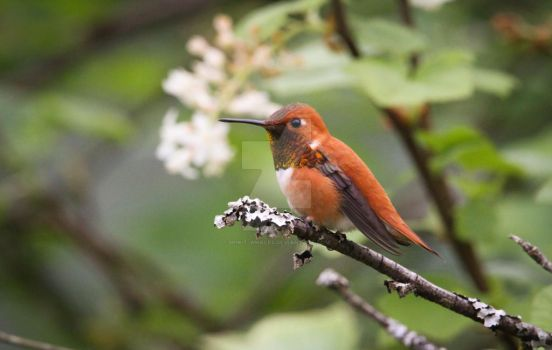 137. Rufous Hummingbird - Selasphorus rufus by Spirit-whales