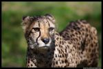 Cheetah closeup by icestyle