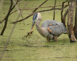 Great Blue Heron with fish by natureguy