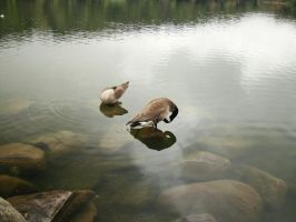 geese 01 by Treeclimber-Stock