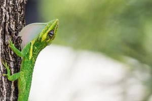 Knight anole dewlap by CyclicalCore