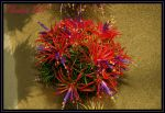 Tillandsia Ball by TThealer56