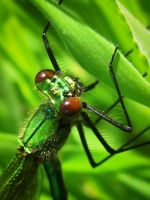 Lestes Sponsa by iriscup