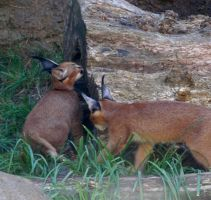 Baby Caracal by LittlestMS